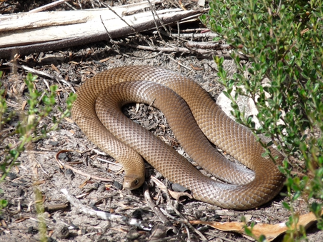 Eastern Brownsnake
